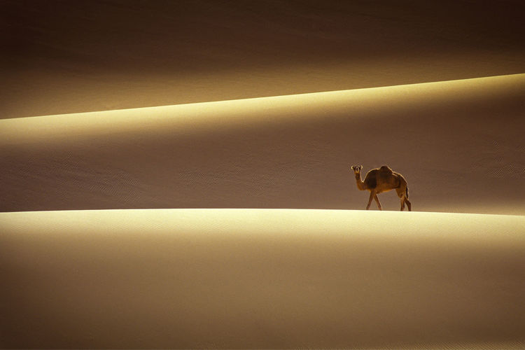 Sand dune Tadrart desert, Tassili of Hoggar, Algerian Sahara Animal Animal Themes Domestic Animals Mammal No People One Animal Pets Tail Vertebrate Zoology