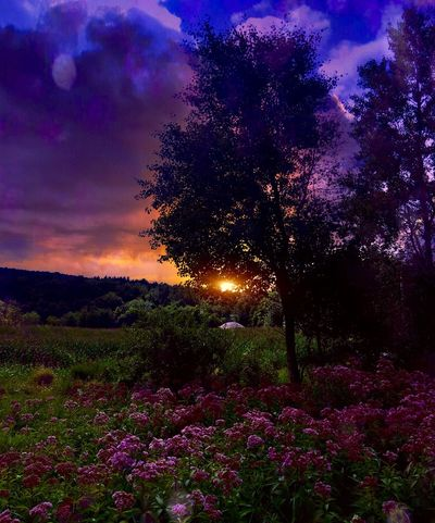Flower Nature Beauty In Nature Purple Tree Sunset Blossom Growth Sky No People Scenics Plant Fragility Outdoors Field Freshness Tranquil Scene Flower Head Agriculture Close-up
