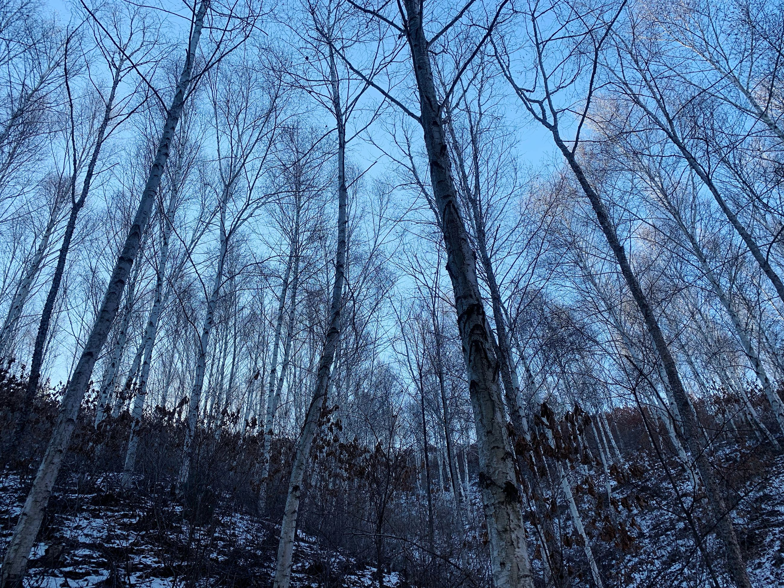 tree, bare tree, plant, forest, tranquility, land, no people, trunk, tree trunk, beauty in nature, nature, woodland, cold temperature, low angle view, sky, winter, tranquil scene, branch, snow, outdoors, tree canopy