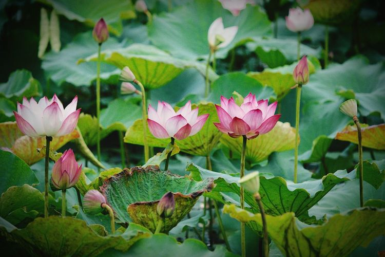 Flower Leaf Growth Petal Beauty In Nature Plant Nature Pink Color Flower Head Freshness No People Fragility Green Color Blooming Outdoors Day Close-up Myanmar Burma Nature Beauty In Nature Lotus Lotus Flower Lotus Leaf EyeEmNewHere