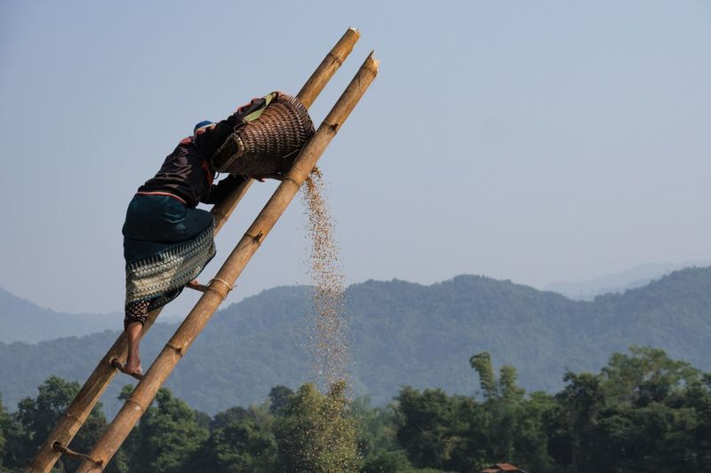Weat and Caff Laos Countryside Canonphotography Seperate From The Chaff Rural Scene Lao Woman Rice Harvesting Harvest Rice Paddy Ladder Sky Nature Clear Sky Plant Day Low Angle View EyeEmNewHere