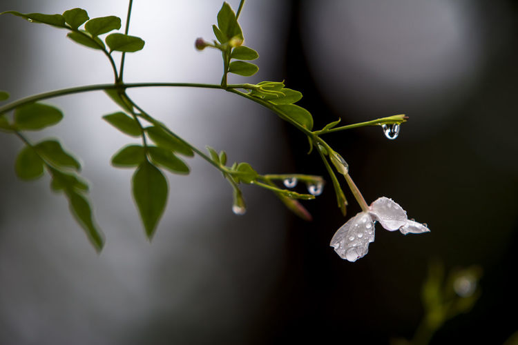 Plant Leaf Plant Part Beauty In Nature Growth Close-up Vulnerability  Freshness Fragility Flower Flowering Plant Selective Focus White Color Focus On Foreground Flower Head Green Color Drop Wet Flower Iran Mazandaran Iran Ramsar Canon20d Plant Stem Rainy Rainy Day