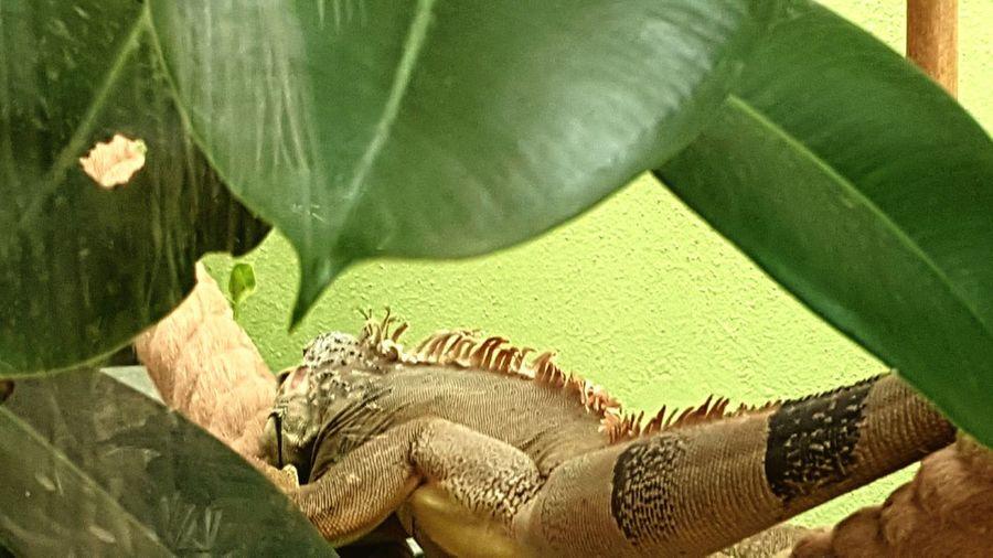 Bukalemun Chameleon Animal_collection Saklimedia