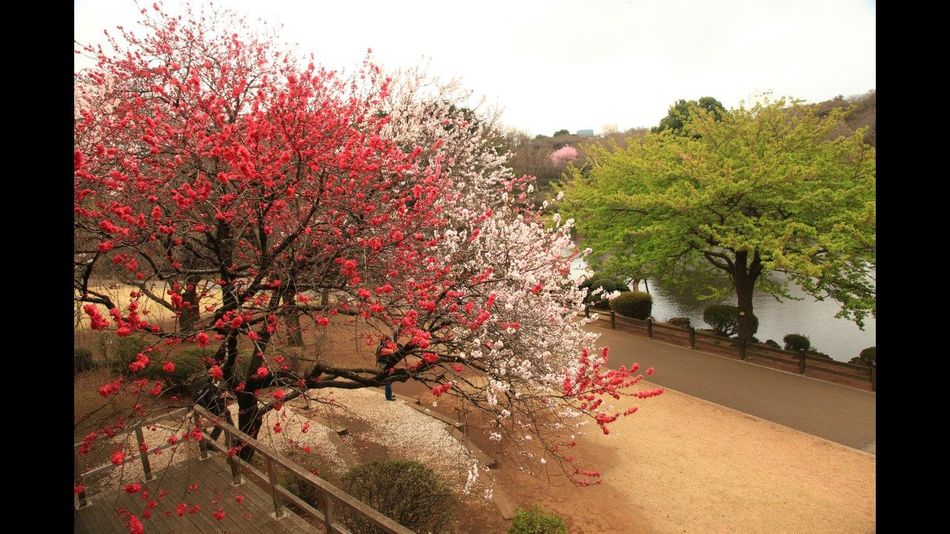 cherry blossom Tree Growth Outdoors Fruit Nature No People Day