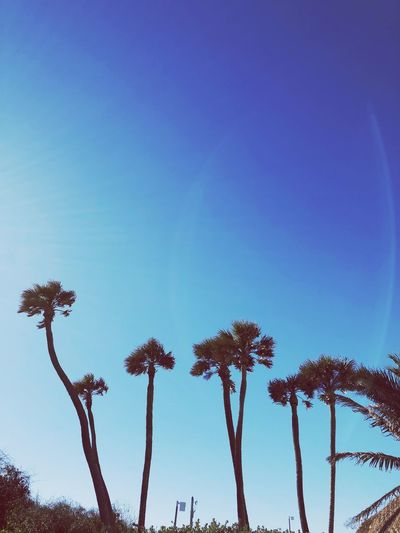 Low Angle View Blue Tree Growth Nature Beauty In Nature Day Palm Tree Clear Sky Outdoors Tranquility No People Sky