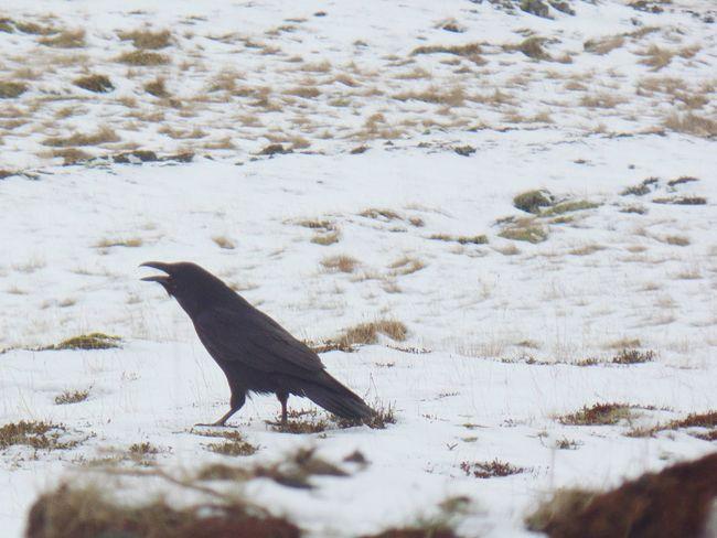 Raven Hello World First Eyeem Photo