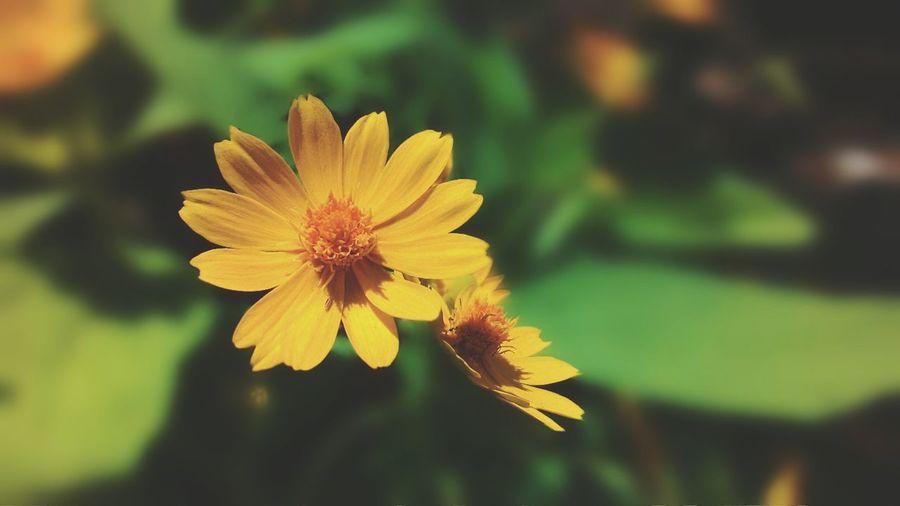 Yellow flower First Eyeem Photo Zenfone Photography Zenfone4 Afs_sda