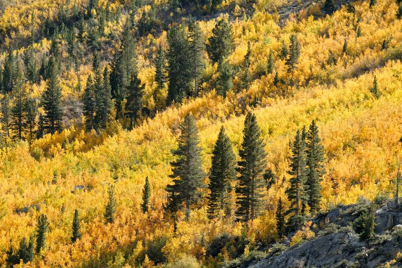 Fall in the Eastern Sierra. Bishop, California Beauty In Nature Plant Yellow Growth Tree Nature Land Tranquil Scene Scenics - Nature Day High Angle View Sunlight No People Outdoors Tranquility Forest Non-urban Scene Landscape Green Color Abundance