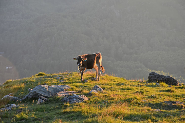 Baby Animals Calf Cow Cows Animals Mountain Tesserete Gola Di Lago Switzerland Sunset Feel The Journey 43 Golden Moments Showcase June Colour Of Life