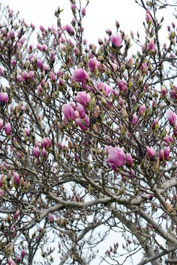 white pink magnolia tree blossom. Blossom Flower Flower Head Low Angle View Magnolia Magnolia Blossoms Magnolia Flower Magnolia Tree Magnolia_Blossom Magnolias Magnolie Nature Pink Pink Color Pink Flower Sky Springtime Tree Tulpenbaum