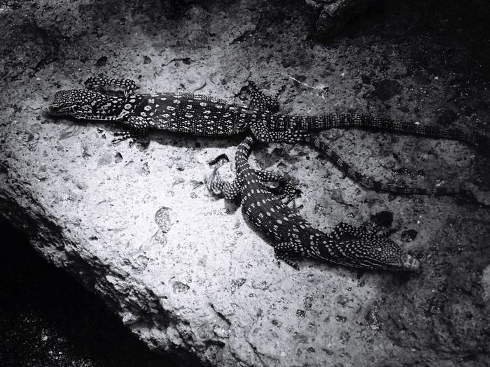 Speckled Gecko Gecko There Be Dragons Reptile Nature_collection EyeEm Nature Lover Nature Monochrome Bw_collection Blackandwhite