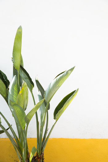 Palm Leaf Bird Of Paradise - Plant Green Color Leaf Nature Plant Plant Part Wall - Building Feature White Background Yellow