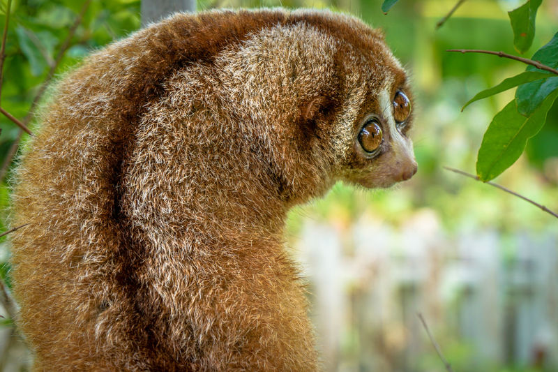 Close-up of slow loris