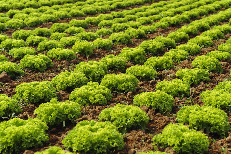 a field with growing lettuce Plant Green Color Growth Beauty In Nature Nature Agriculture No People Day Food And Drink Abundance Freshness Tranquility Land Food In A Row Full Frame Healthy Eating Environment Backgrounds Gardening Outdoors Agriculture Lettuce Field Farming