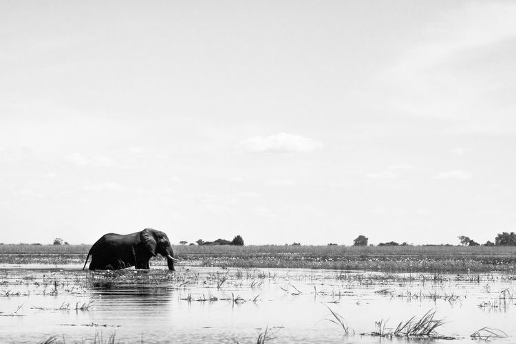 An elephant wading through the Chobe River, looking for greener pastures BIG Ivory Serenity Africa African Elephant Animal Animal Themes Animal Wildlife Animals In The Wild Beauty In Nature Elephant Elephants Herbivorous Large Group Of People Mammal Nature Outdoors Plant River Sky Tranquil Scene Trunk Tusk Water Wildlife