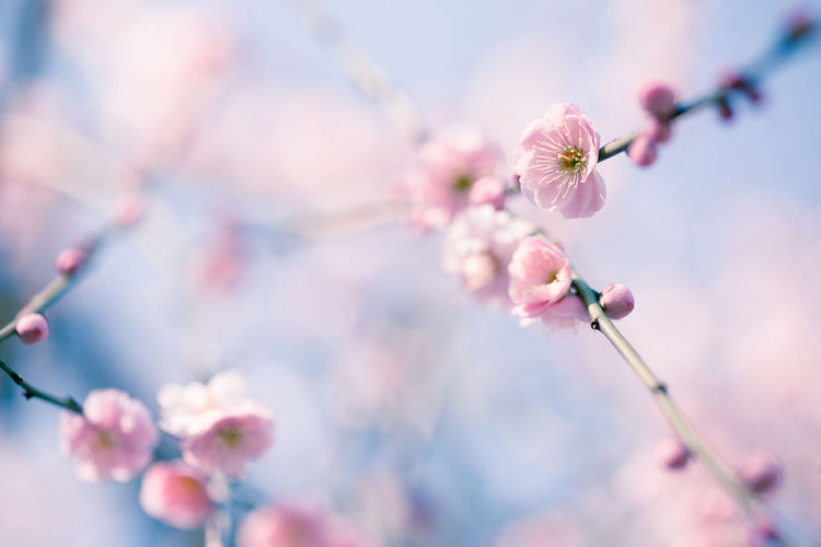 Apricot Blossoms Blooming On Twigs