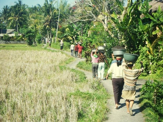 Bali, ubud Bali Ubud Traditional Ladys Countryside