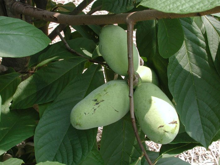 Asimina Triloba Beauty In Nature Close-up Day Food Food And Drink Freshness Fruit Green Color Growth Healthy Eating Leaf Nature No People Outdoors PawPaw Pawpaw Tree Plant Tree