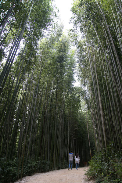 Juknokwon, the famous bamboo park in Damyang, Jeonnam, South Korea Damyang Juknokwon Bamboo - Plant Bamboo Grove Bamboo Park Beauty In Nature Day Forest Growth Low Angle View Nature No People Outdoors Scenics Sky Tranquility Tree