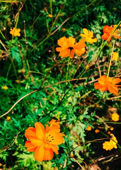 Cosmos Flower Flower Head Petal Orange Color Growth Beauty In Nature Nature Blooming Freshness Outdoors Close-up Plant fall Sunny Day Flower flower