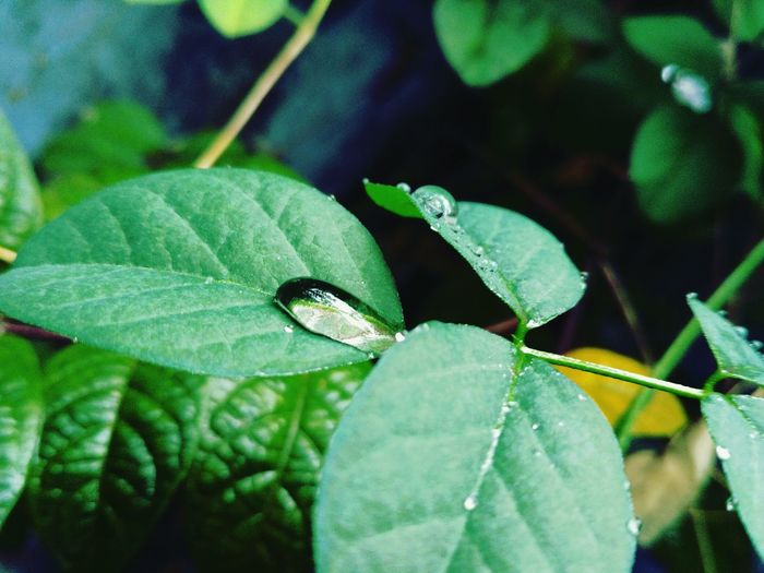 Leaf Growth Nature Plant Freshness Close-up Green Color Beauty In Nature No People Outdoors Insect Day Tree Human Finger Black Background One Person Blooming Passion Flower Water Focus On Foreground Freshness Beauty In Nature Green Color Fragility Animal Themes