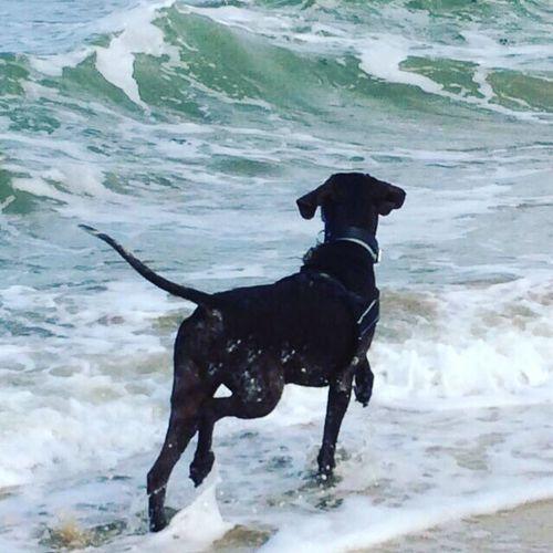 Pet Portraits Pets Dog Sea Beach Germanshorthairedpointer Sweetestdog Love 13yearsold Chasingseagulls Zeeland❤️