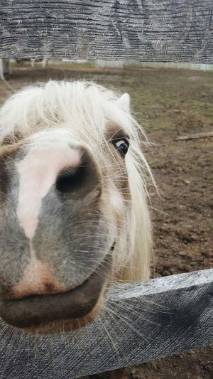 Horse Pony MyLittlePony FarmAnimal Farmanimals CountryLivinG Countrylife Animalsmile Smile Horsesmile