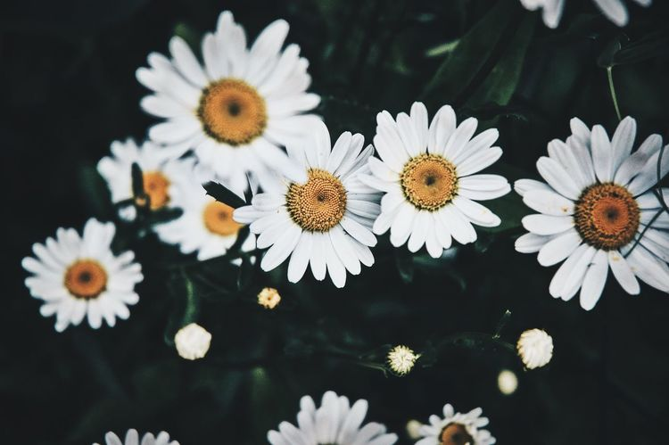 Pâquerettes Flower Flower Head Petal Fragility Freshness Nature Pollen Beauty In Nature White Color High Angle View No People Growth Blooming Close-up Plant Day Leaf Outdoors Common Daisy Paquerettes Art Is Everywhere VSCO TheWeekOnEyeEM Showcase May