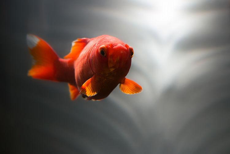 mystic goldfish closeup Animals Beautiful Beauty In Nature Closeup Day Fish Focus On Foreground Goldfish GoldFish! Mystic Mystical Nature Nature Nature Photography Pond Pond Life Pondography Red Selective Focus Underwater Water