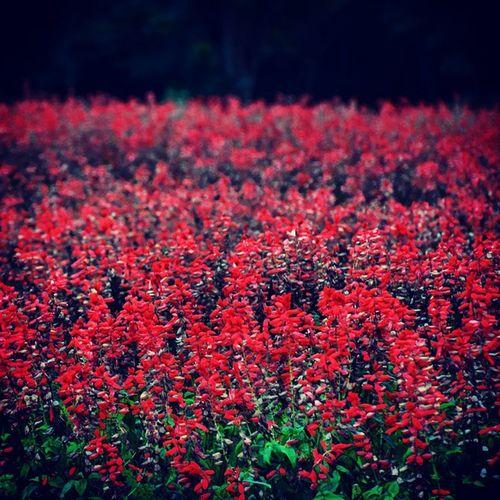 サルビア 花 風景
