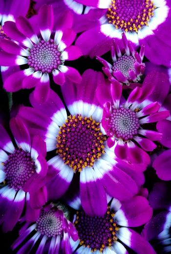 Flower Head Flower Petal Purple Pink Color Full Frame Close-up Plant Stamen Pollen Pistil Plant Life Magenta In Bloom Blossom