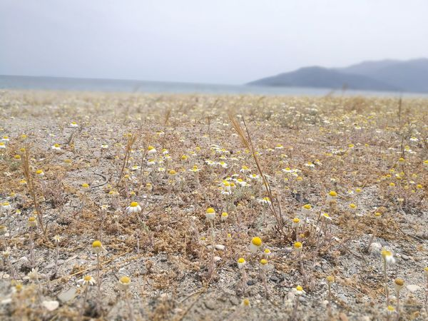 Nature Outdoors Beauty In Nature Day Landscape TranquilityBeach Sea No People Flower Scenics Sky Sand Dune Freshness Close-up Daisies Daisies Closeup Peloponnese Greece