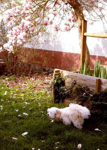 Showcase April Animal Themes Animal Photography Animal Dogslife Tree Flowers Shi Tzu Pastel Power Spring Flowers Dog Peeing