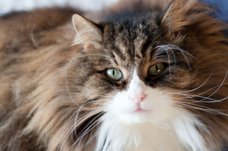 Fluffy cat with
