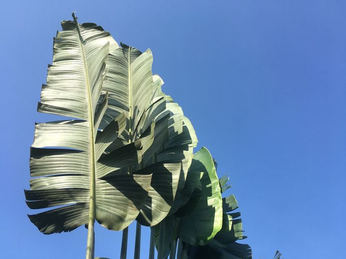 Another kind of Banana tree Rural Scene Pastel Blue Green  Banana Leaf Bananatree Banana Tree Banana Leaf Banana Low Angle View Clear Sky Blue Copy Space Day Outdoors No People Nature