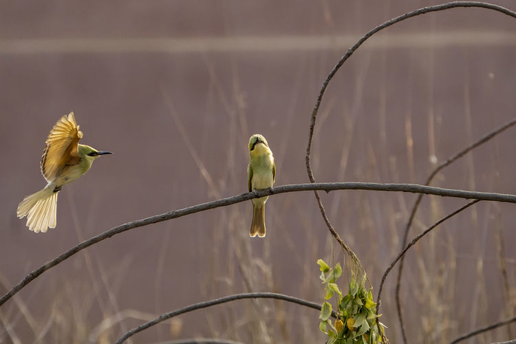 Bee-eater flying and perching