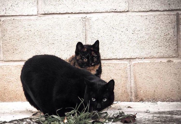 Abimales , mascotas Gatos