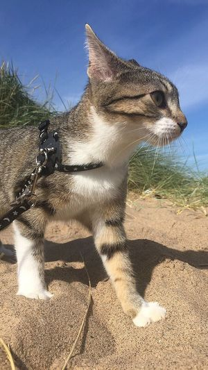 Took the kitten for a walk Housecat Shadow One Animal Animal Themes Domestic Animals Sunlight Mammal Beachphotography Cat Field Animal Head  Sunny Alertness Curiosity Day Livestock Zoology Domestic Cat Outdoors Countryside