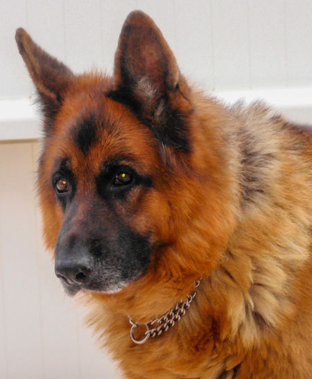 My Beautiful Dog Pet Portraits Berger Allemand Dog Domestic Animals No People One Animal Pets Portrait