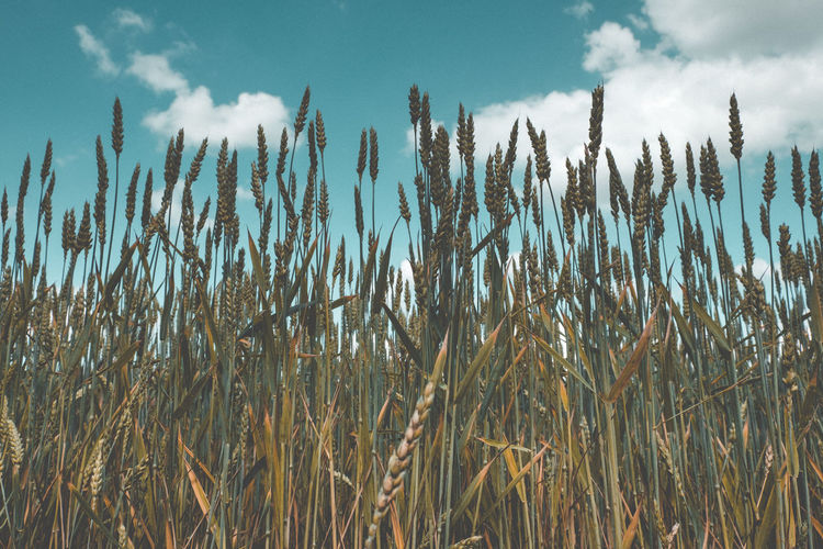 Low angle view of stalks in field against sky
