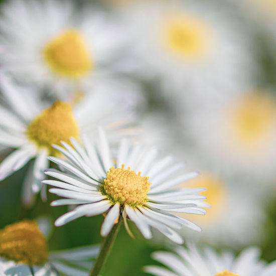 Carpet of daisy flowers in meadow Chamomile Background Beautiful Beauty Bloom Blooming Blossom Botanical Botany Camomile Color Colorful Cornflower Countryside Daisies Daisy Decoration Decorative Design Eco Element Environment Flora Floral Flower Flower Head Foliage Garden Growth Herbal Herbs Isolated Leaf Meadow Natural Nature Overgrown Pattern Petal Plant Retro Seamless Season  Spring Stem Summer Unculitvated Wallpaper Weeds Wild