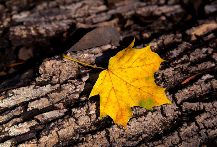a gold leaf rests on an old fallen log in a MIchigan woods Fall Colors Old Log Autumn Beauty In Nature Change Close-up Day Dry Fall Fragility Leaf Maple Maple Leaf Nature No People Outdoors Yellow