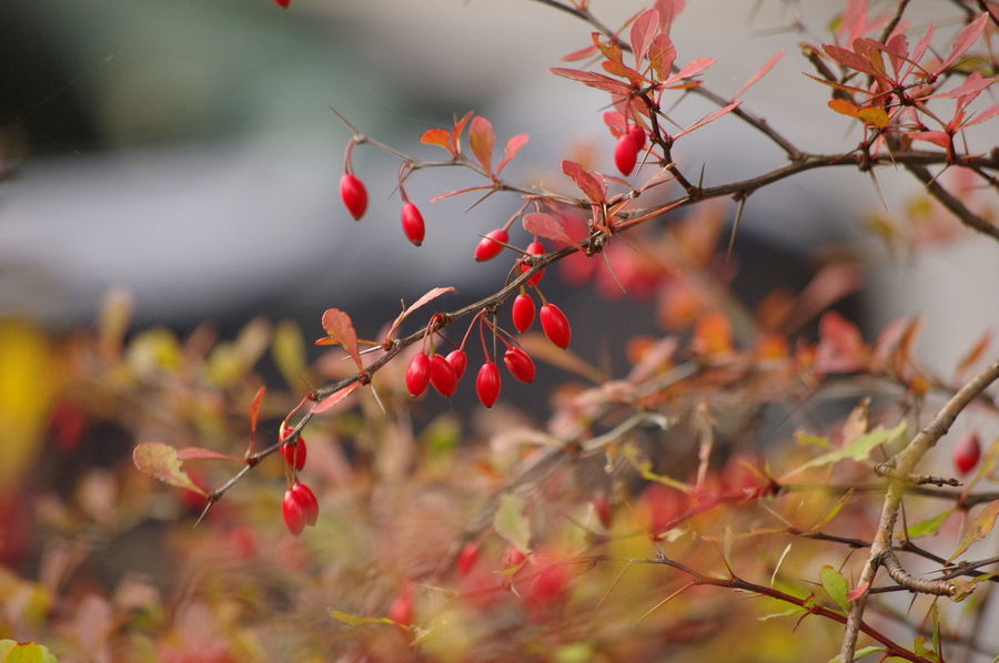 EyeEm Selects Autumn Red Tree Leaf Branch Nature Outdoors No People Beauty In Nature Winter Red Berries Selective Focus