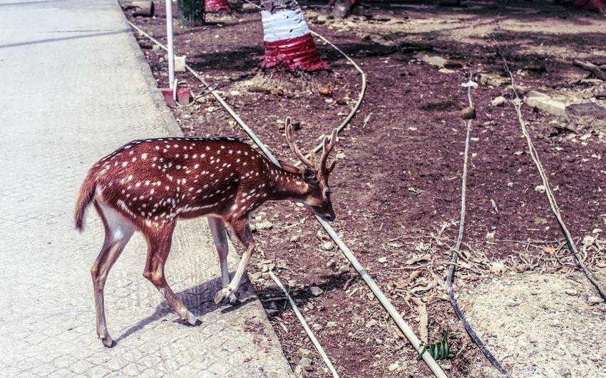 Deer EyeEm Selects Joo  Animal Themes