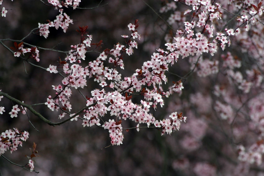 Branch Beauty In Nature Beginning Bloom Blooming Blossom Earliest Easter Flora Flower Flower Head Flowering Freshness Fruit Garden Growth Nature Petal Pink Color Purity Seasons Serenity Softness Spring Tree
