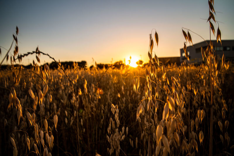 Wheat field against sky during sunset