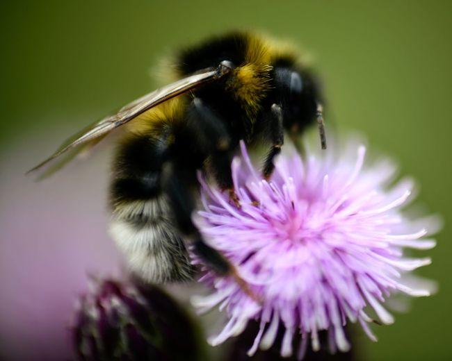 Thistle Honey