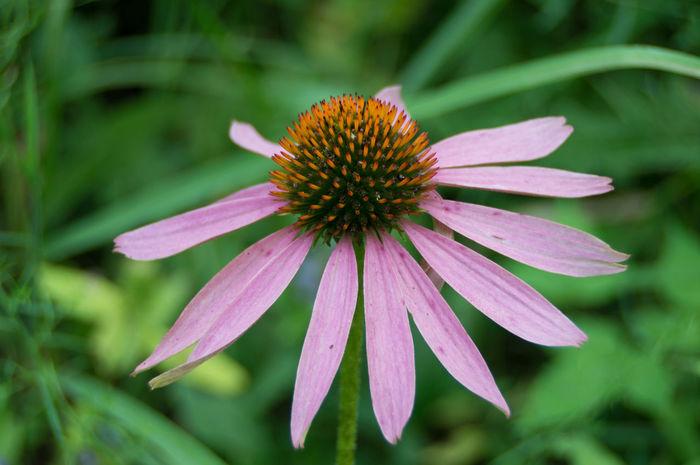 Taken along a nature path. Beauty Botany Close-up Closeup Flower Growth Nature Purple Softness Summer Summertime