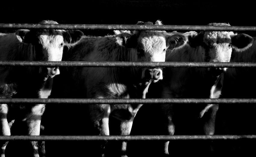 Cows standing in front of fence at pen