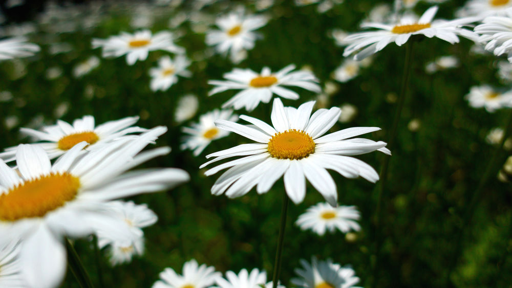 Beauty In Nature Close-up Daisy Day Flower Flower Head Flowering Plant Focus On Foreground Fragility Freshness Growth Inflorescence Nature No People Outdoors Petal Plant Pollen Summer Vulnerability  White Color